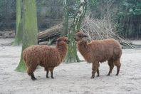 Huisvesting en Verzorging van de Alpaca