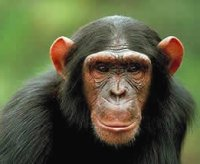 The role of taste in food selection by African apes