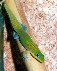 Huisvesting en Verzorging van de Daggekko