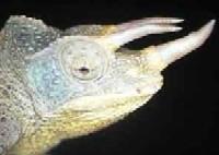 Huisvesting en Verzorging van de Oost-Afrikaanse driehoornkameleon