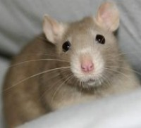 Huisvesting en Verzorging van de Tamme Rat