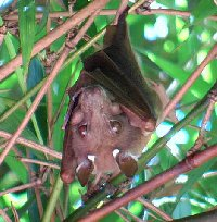 Food hardness and feeding behaviour in old world fruit bats (pteropodidae)