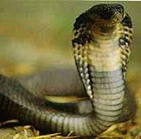 Gifslangen