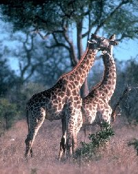 Digestibility and roughage intake in a group of captive giraffes