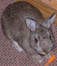 De handopfok van jonge konijnen