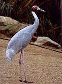 Huisvesting en Verzorging van de Saruskraanvogel