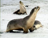 Body mass and composition responses to short-term low energy intake are seasonally dependent in Steller sea lions