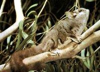 De Sugarglider; Petaurus breviceps