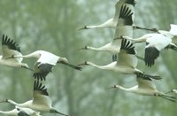 Behavioral profiles of the captive juvenile whooping crane as an indicator of post-release survival