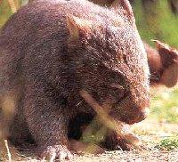 Voeding van de Wombat