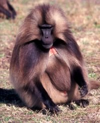Effect of male number and clan cohesion on feeding success in hamadryas baboons