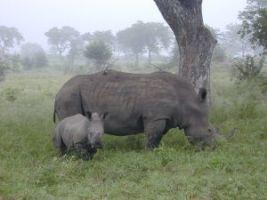 Digestion coefficients in the black rhinoceros