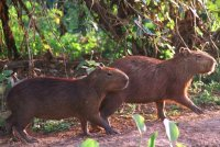 Foraging patterns of capybaras in a seasonally flooded savanna of Venezuela