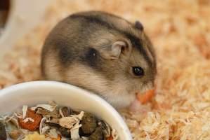 Hamsteren!