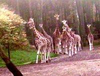 Energy and Fibre Intake in a Group of Captive Giraffe <i>(Giraffa camelopardalis)</i>