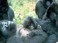 Groepsintroductie bij apen