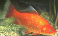 Huisvesting van goudvissen