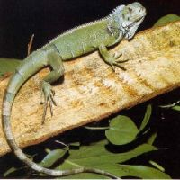 Reptielenzoo Iguana