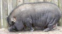 Huisvesting en Verzorging van het Hangbuikzwijn