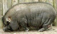 Wat eet een hangbuikzwijn