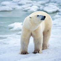Seasonal, sexual and anatomical variability in the adipose tissue of polar bears