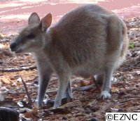 Diet selection and foraging ecology in Macropodidae (Kangaroos)