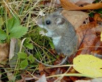 The digestive tract and life history of small mammals