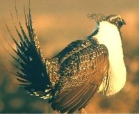 Total Plasma Protein and Renesting by Greater Sage-Grouse
