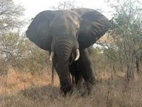 Diet and feeding behaviour of the forest elephant in the Santchou Reserve, Cameroon
